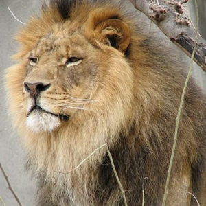 Carnival of the Animals Lions – Cumbria Music Service